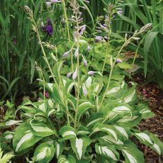 Hosta undulata var. undulata (Large Plant)