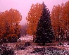 Arizona, Apache-Sitgreaves National Forest, White Mountains, Escudilla Mountain, Fall aspens and blue spruce with light dusting of snow
