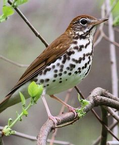 Wood thrush - The wood thrush is a North American passerine bird. It is closely related to other thrushes such as the American robin and is widely distributed across North America, wintering in Central America and southern Mexico.
