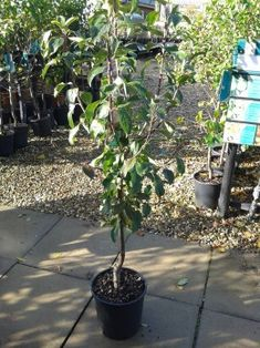 Apple Trees That Grow In Pots Apple tree Growing apple trees