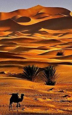Morocco - Er Rachidia - Lonely camel in Merzouga