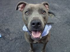 Manhattan Center BENNY – A1079566 ***SAFER : EXPERIENCED HOME*** MALE, GRAY / WHITE, AM PIT BULL TER MIX, 2 yrs STRAY – EVALUATE, NO HOLD Reason STRAY Intake condition UNSPECIFIE Intake Date 07/01/2016, From NY 10460, DueOut Date07/05/2016