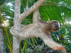 54 best sloths images on pinterest sloths adorable animals and