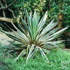 Deer Busters: The Top Deer-Resistant Garden Plants for the Mountain West & High Plains Yucca tough p Full Sun Garden, Dry Garden, Garden Plants, Beer Garden, Yucca Filamentosa, Deer Resistant Garden, Edging Plants, Yucca Plant, Full Sun Perennials