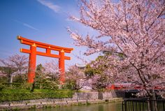 I can not believe that a pin i pinned a few years ago became a reality, and i visited Japan twice within the last year. Kyoto and Sakura blossoms are divine . Tokyo is vibrant and cool. Will dream of going there again. Kyoto Cherry Blossom, Cherry Blossom Party, Cherry Blossom Season, Cherry Blossoms, Kyoto Japan, Japan Tourist Spots, Kyoto Travel Guide, Kyoto Itinerary, Walking