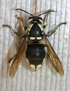 259 best bees and wasps and hornets oh my images on pinterest