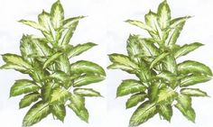 Two 40 Inch Artificial Dieffenbachia Palm Plants ** See this awesome image  (This is an amazon affiliate link. I may earn commission from it)
