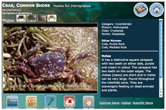 NZ Marine Life Database can be found on the NZ Marine Studies Centre web site. Photos, classification, information on ecology and habitat can be found. Carapace, Marine Life, Ecology, Habitats, Centre, Photos, Pictures, Photographs, Environmental Science
