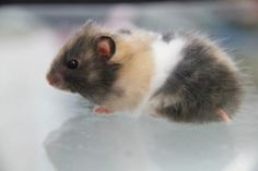 Calico Syrian Hamster