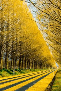 Gingko Tree Highway, Japan photo via perplexed