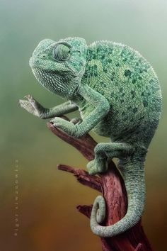 Astounding Chameleon photography Igor Siwanowicz is an exceptional photographer captures beautiful photos of reptiles, amphibians and Chameleon. Unlike any other insect photographer, Igor manages to capture human like qualities in… Reptiles Et Amphibiens, Cute Reptiles, Mammals, Veiled Chameleon, Chameleon Lizard, Karma Chameleon, Amazing Animals, Animals Beautiful, Animals And Pets