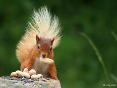 Red Squirrel   Nuts for lunch