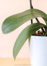 Limp Leaves Signal A Watering Problem How To Water For Healthy Orchids Growing Orchids Orchids In Water Orchid Care