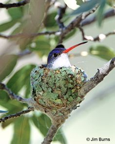 Violet-Crowned Hummingbird Female On Nest