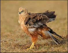 Marsh Harrier    (photo by Clement Francis)