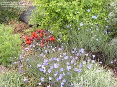 """From http://davesgarden.com/community/forums/t/1006528/#post_6730417 """"ID on the cactus?"""" (Blue Flax in foreground)"""