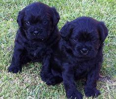 Pug and Poodle Pug-a-Poo