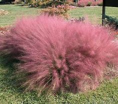 Gorgeous, showy pink ornamental grass.... makes quite an impact.