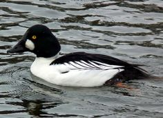 Common Goldeneye.  Seen: Grand River, Snyder's Flats.