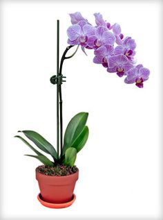 Candy Stripe Pink Phalaenopsis Orchid - 4