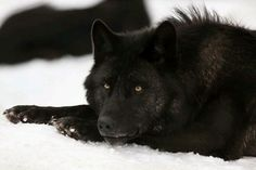 Resting Black Wolf at Yellowstone National Park. Wolf Photos, Wolf Pictures, Wolf Spirit, Spirit Animal, Beautiful Creatures, Animals Beautiful, Half Elf, Animals And Pets, Cute Animals