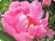 Pink flower in my garden (Summer 2011) #pink #flower