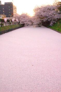 A river covered with cherry petals in Japan