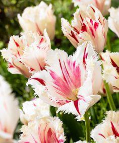Tulip 'Carrousel' | Flower Bulbs from Spalding Bulb