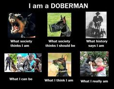 """Doberman Pinscher Club of America Link       About the Doberman        Someone once said that the Doberman Pinscher is the """"Cadillac"""" of ..."""