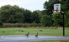 One-on-one, Canadian-geese Basketball.
