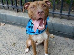 TO BE DESTROYED 10/14/13 Manhattan Center - P~My name is BINGO. My Animal ID # is A0980652. I am a male br brindle and white pit bull mix. The shelter thinks I am about 1 YEAR 1 MONTH old. I came in the shelter as a STRAY on 09/30/2013. Bingo did well on most of his behavior tests. Some food gulping occured during food test.This is common among strays & very retrainable. Good interaction with helper dog.Bingo would benefit from frequent walks or any other physical activity. How about you?