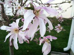 Beautiful Magnolia tree, in N. Idaho!