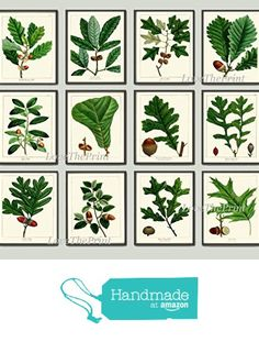Botanical Print Set of 12 Antique Beautiful Redoute Acorn Tree Branch Green Leaf Nuts Forest Nature Home Room Decor Wall Art Unframed from LoveThePrint https://www.amazon.com/dp/B01KHFPC0U/ref=hnd_sw_r_pi_dp_OtO6xbTM1912M #handmadeatamazon