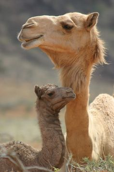 "wild-heartedx: "" Mother and baby camel (Andrea Willmore) "" wild-heartedx: ""Mutter und Baby Kamel (Andrea Willmore)"" Cute Baby Animals, Animals And Pets, Funny Animals, Wild Animals, Strange Animals, Desert Animals, Animal Babies, Mother And Baby Animals, Funniest Animals"