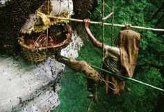 Twice a year for nearly 12,000 years, men of Gurung tribe of central Nepal have braved the Himalayan foothills to harvest the honey of the world's largest species of honeybees. The knowledge of ext...