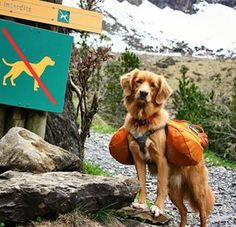 They love nothing more than to spend the weekend with their humans tackling new hiking trails. And they don't mind doing some of the heavy lifting. | 17 Photos That'll Make You Want To Adopt A Nova Scotia Duck Tolling Retriever