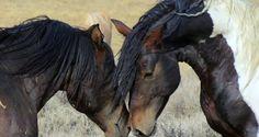In den Vereinigten Staaten leben derzeit noch rund 67.000 Wildpferde. 44.000 von ihnen sollen nun laut dem Willen der US-Behörden abgeschlachtet werden, damit die Rindfleischindustrie neue Flächen erhält.