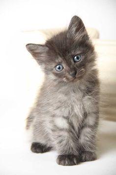 Beautiful Siberian kitten!