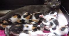 8 Month Old Rescue Cat Takes On Nursing 8 Kittens! What A Terrific …