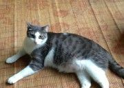 Lost grey and white cat « Texas Lost Pets - Our grey and white cat went missing on 12/30/13. Its been so cold I hope somebody has got him. Please let us know, we miss him very much!  Thanks, Josh   What is your contact number? 832-340-3765  What is the sex or your pet? Male
