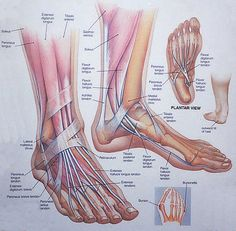 anatomy of ankle | University Foot & Ankle Specialists: Anatomy