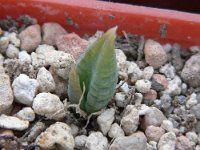 Bulbine vitrea Succulents, Plants, Cactus, Succulent Plants, Plant, Planets