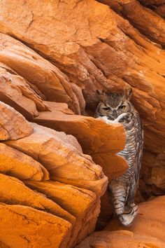 Young Great Horned Owl. Scott Thompson.