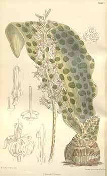 Ledebouria somaliensis