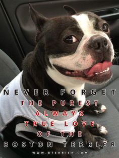 Here is a picture with a quote about the Boston Terrier. Never Forget the Purest Always True Love of the Boston Terrier! Share to spread the word!