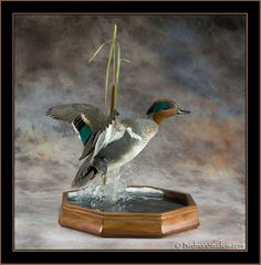 Flying green wing teal mount