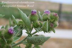 Burdock Flowers (Colorado Flower)