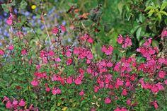 Salvia microphylla 'Pink'