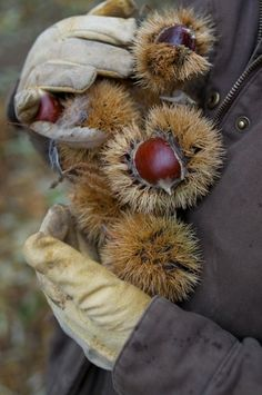 Chestnuts Return to America – Food for Humans & Animals  - The Homestead Survival