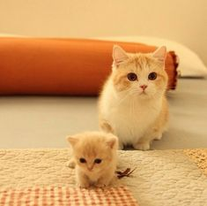 Munchkin Cat Pictures - Too Many Kittens for Carol - Chat Kittens And Puppies, Cute Cats And Kittens, Kitty Cats, Fluffy Kittens, Adorable Kittens, Fluffy Cat, Kittens Cutest Baby, Baby Kitty, Cats Bus